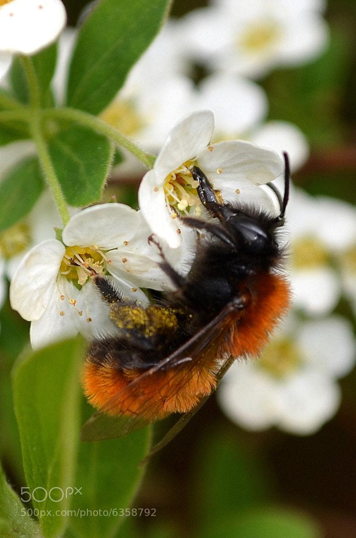 Photograph Tawny mining bee feeding by Ryan Clark on 500px