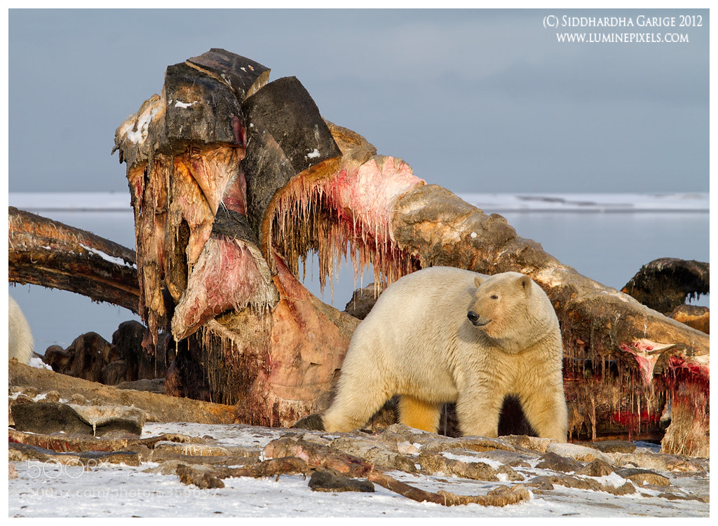 Photograph Polar bear and whale carcass by Siddhardha Garige on 500px