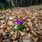 Постер, плакат: Crocuses in the woods