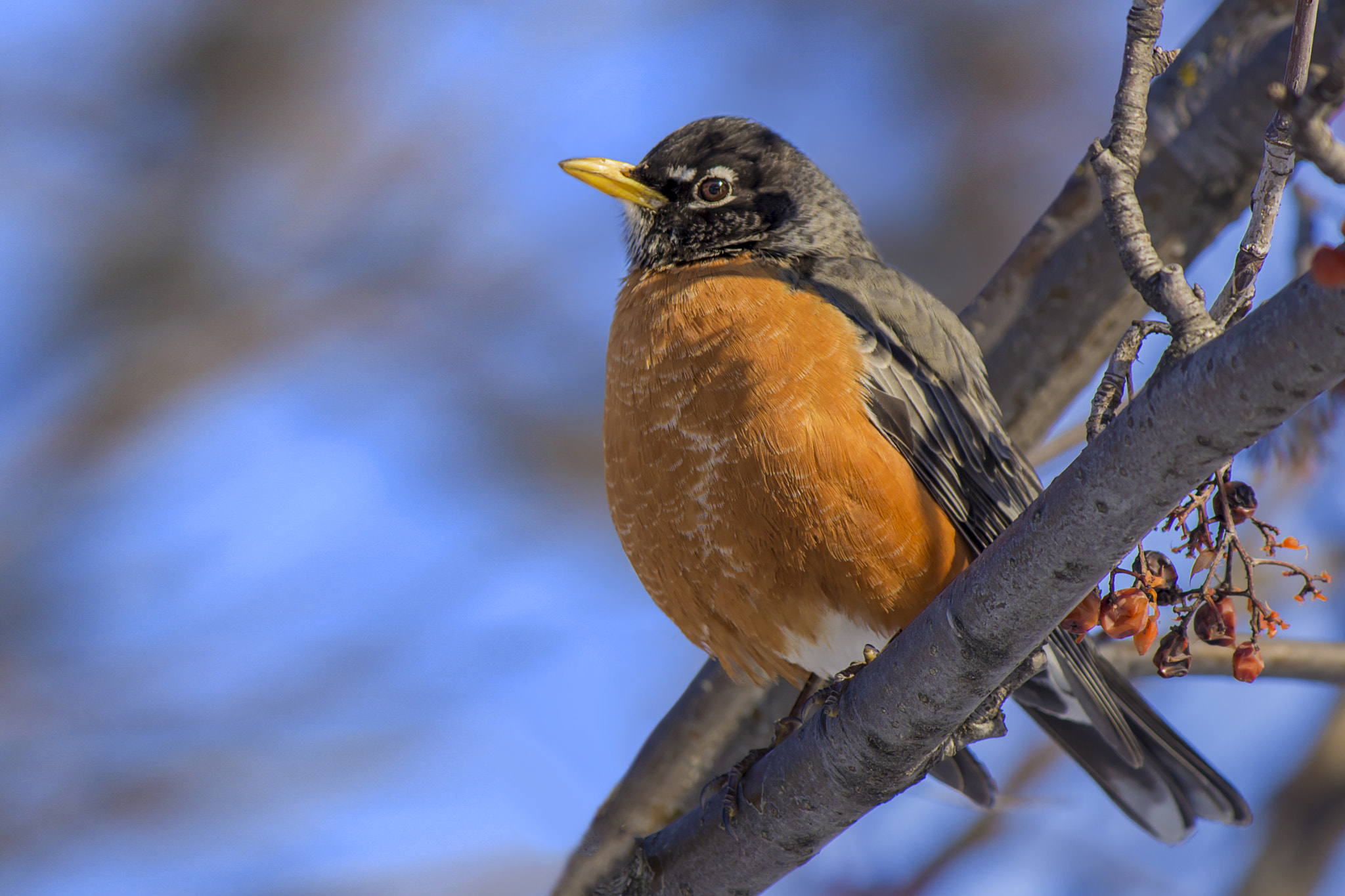 Photograph Bright winter's day robin by Patrick Pilon on 500px