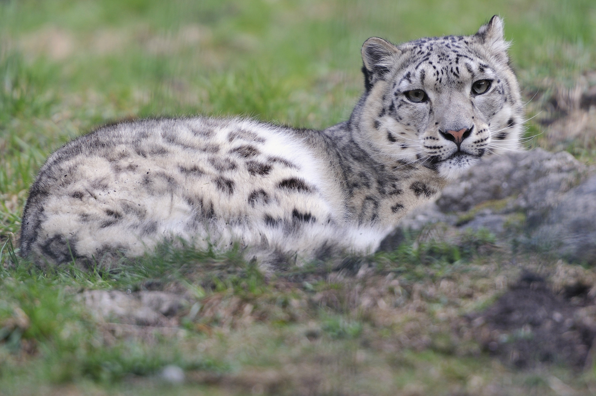 Photograph Snow Leopard by Josef Gelernter on 500px