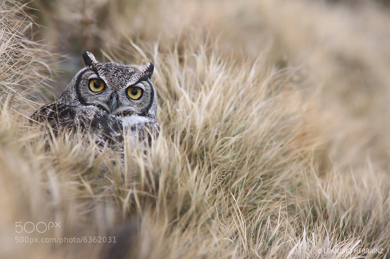 Photograph Ñacurutu - Magellanic horned owl by Leandro Herrainz on 500px