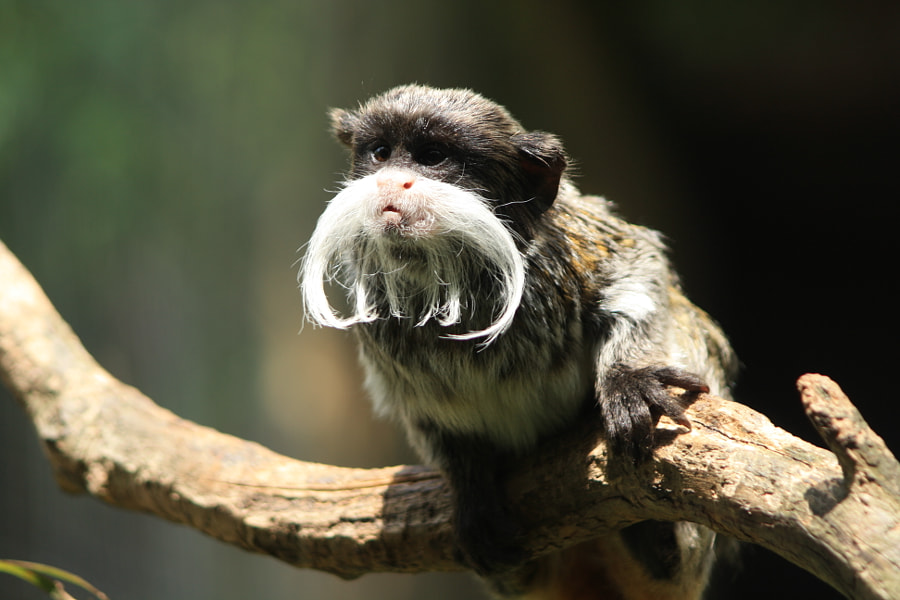 Tamarin empereur , Emperor Tamarin by Julien Herry on 500px.com