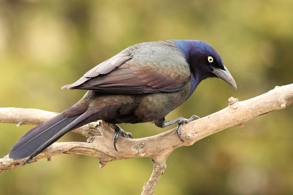 Photograph grackle cleaning muddy bill by H Singh on 500px