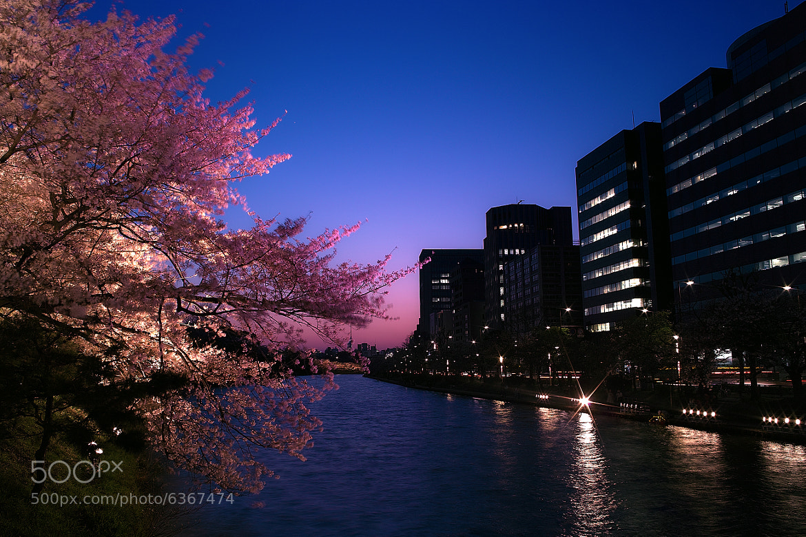 Photograph Cherry Blossoms at Dusk by Junya Hasegawa on 500px