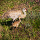 Постер, плакат: Mother Sandhill Crane & Colt