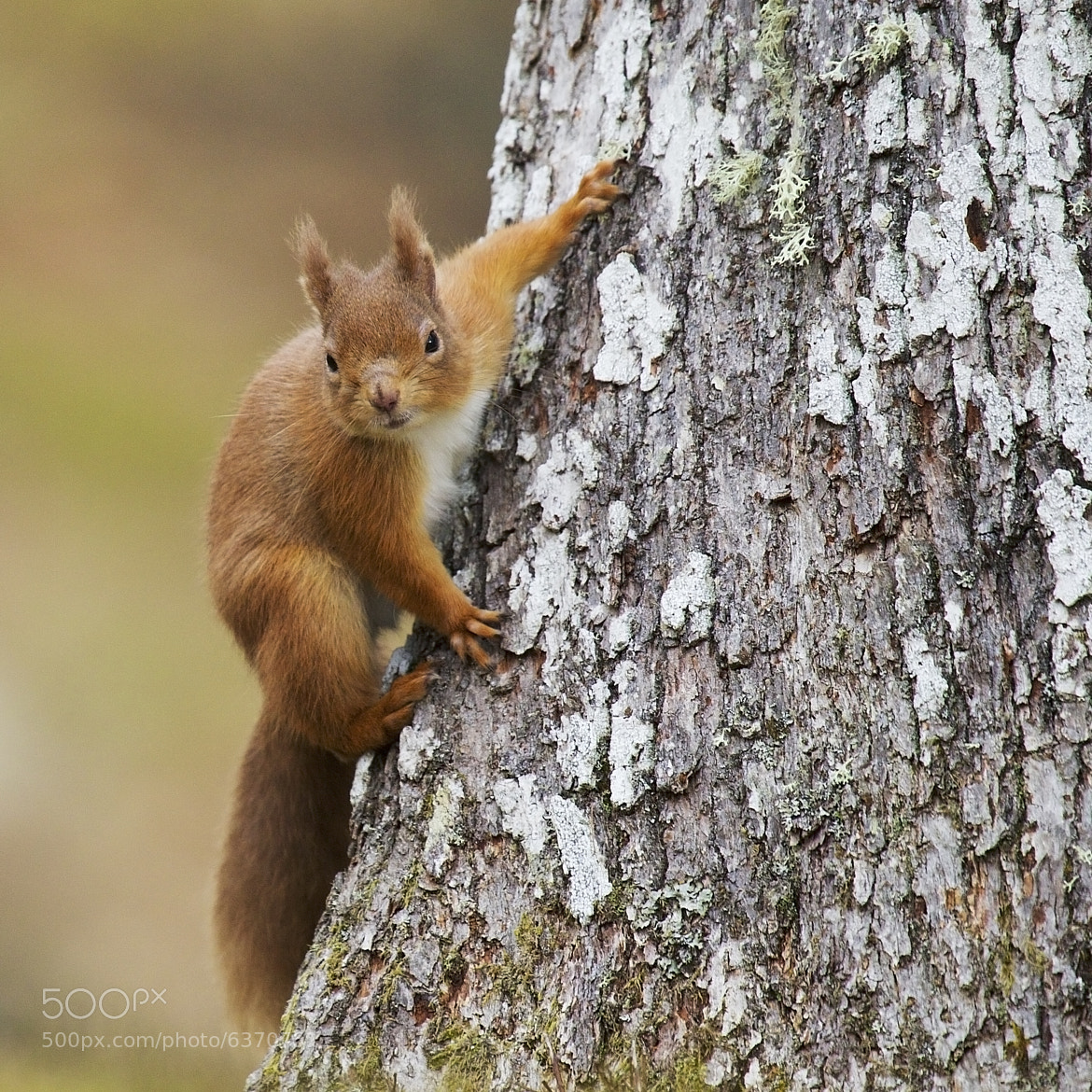 Photograph Red squirrel by Sylwia Domaradzka on 500px