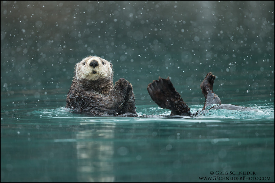 Sea Otter in heavy snow by Greg Schneider on 500px.com