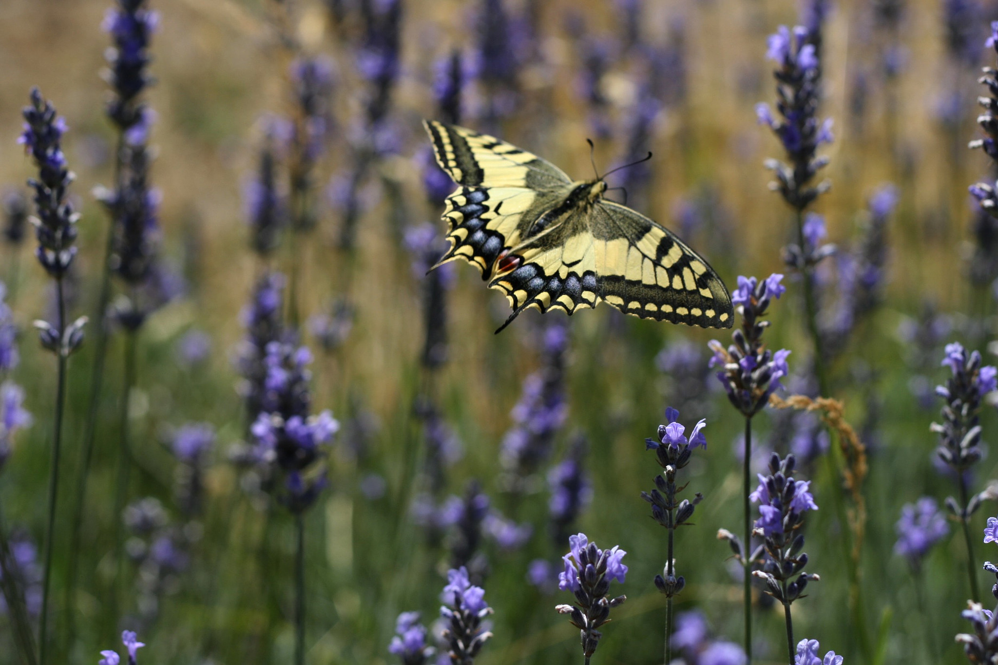 Photograph Papilio Machaon by Pascale LC on 500px