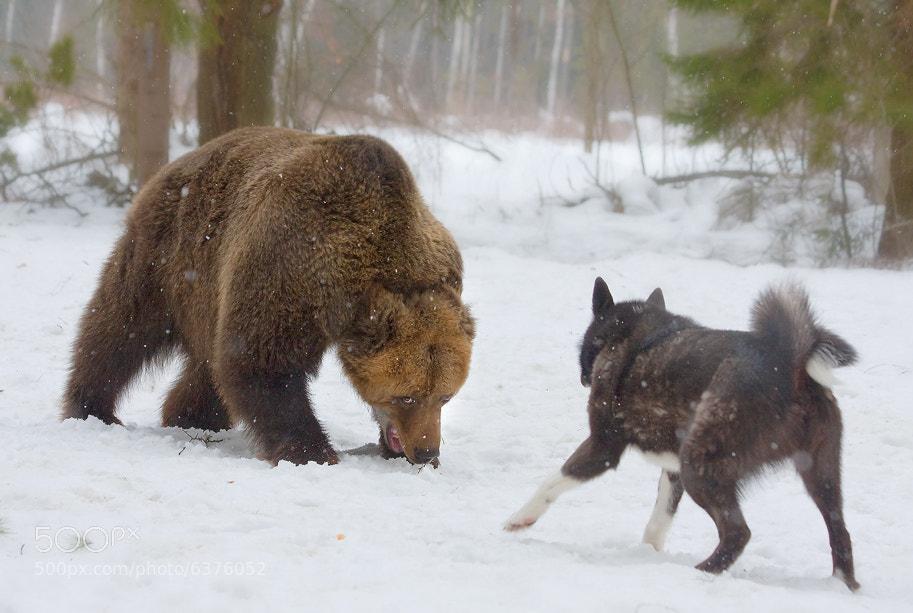 Photograph confrontation by Gennady Matveenkov on 500px