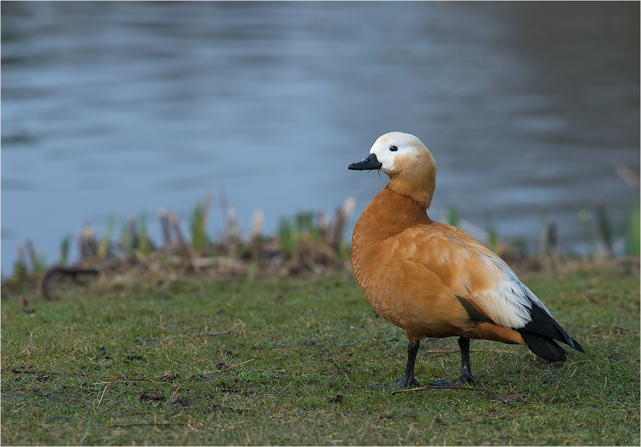 Photograph Ruddy Shelduck / Rostgans by Hans Rentsch on 500px