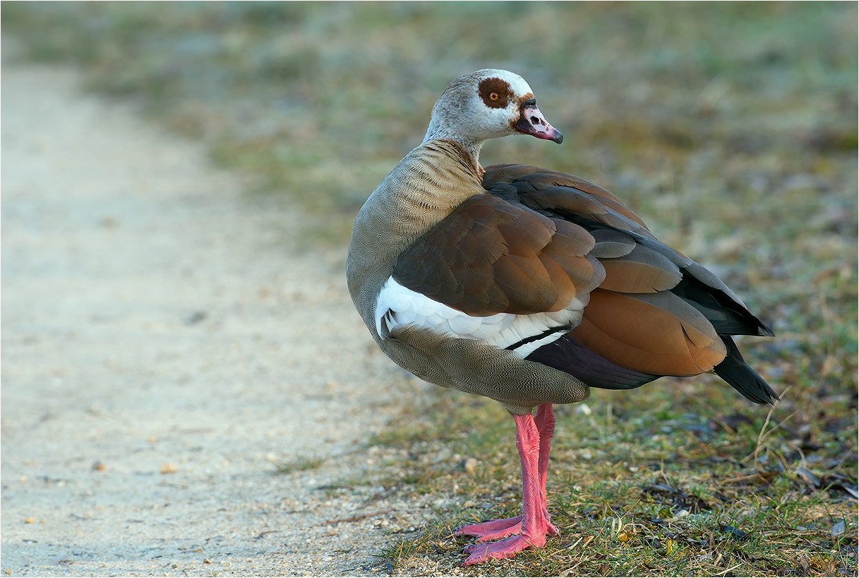 Photograph Egyptian Goose / Nilgans by Hans Rentsch on 500px