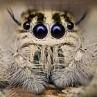 Постер, плакат: Hyllus Diardi Jumping Spiders