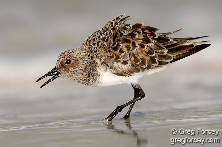 Photograph Sanderling by Greg Forcey on 500px