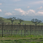 One of the many vineyards in Northern California. This Gilroy vineyard is located off the 152 freeway.