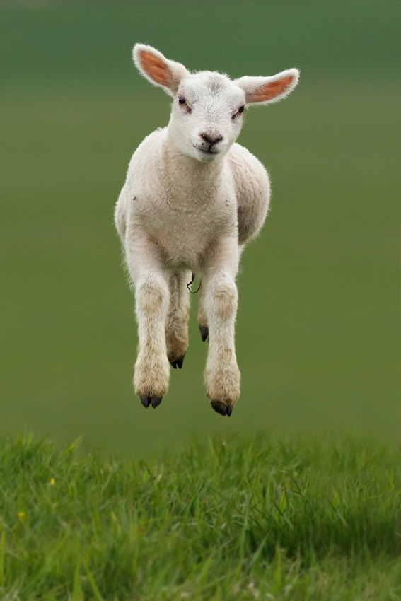 Levitating Lamb by Roeselien Raimond on 500px.com