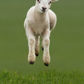 Levitating Lamb