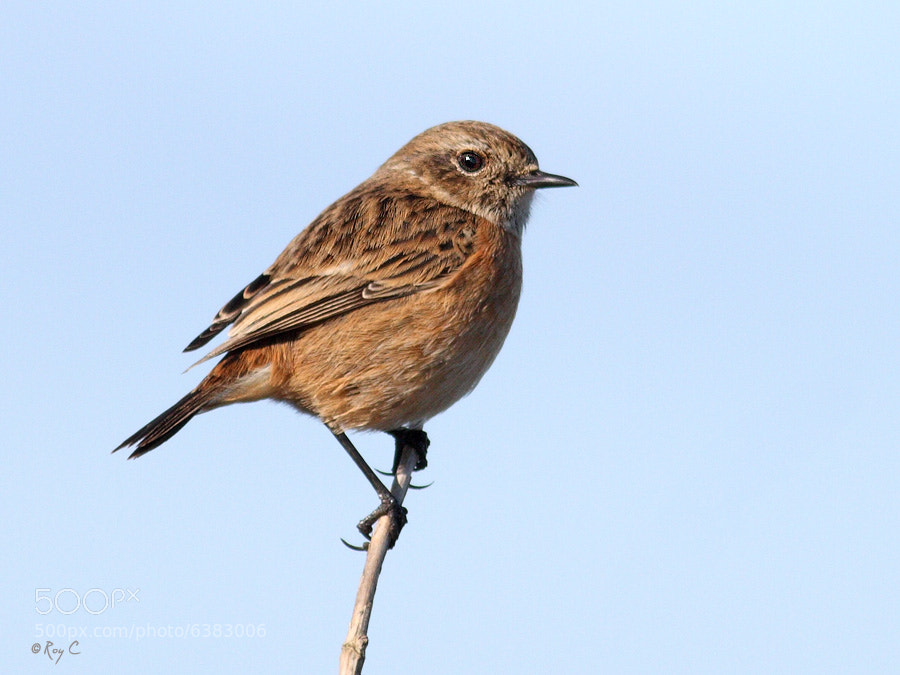 Photograph Stonechat by Roy Churchill on 500px