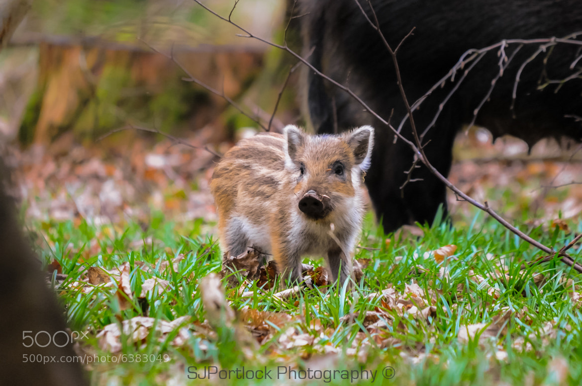 Photograph Wild Boar Piglet  by Stephen Portlock on 500px