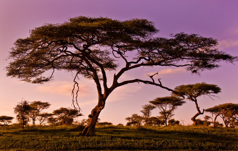 Acacia in Serengeti