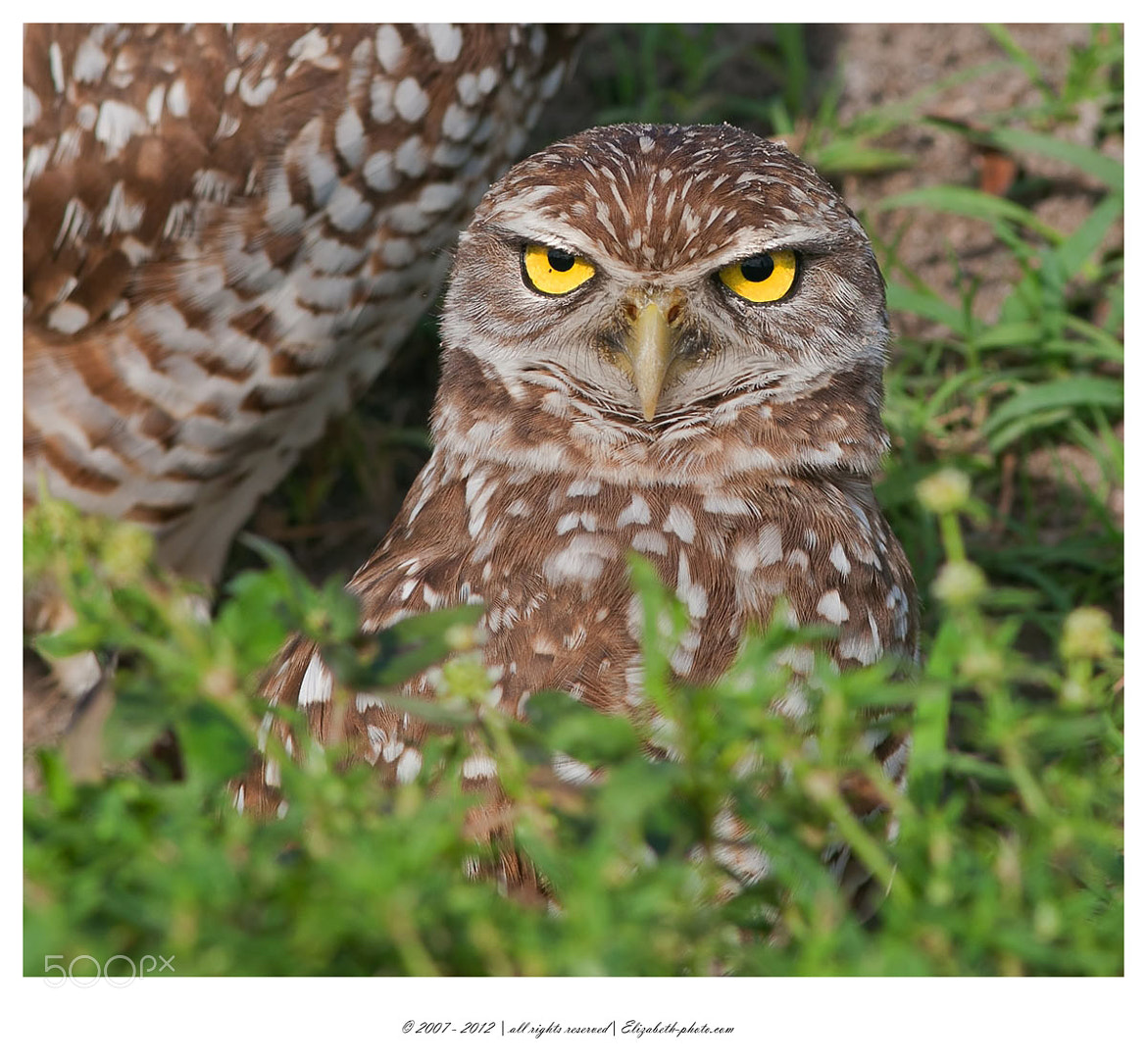 Photograph Burrowing Owl  by Elizabeth.  E. on 500px