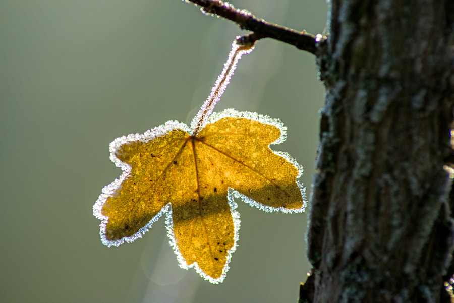 leaf with ice crystals by Hans-Joachim Schneider on 500px.com