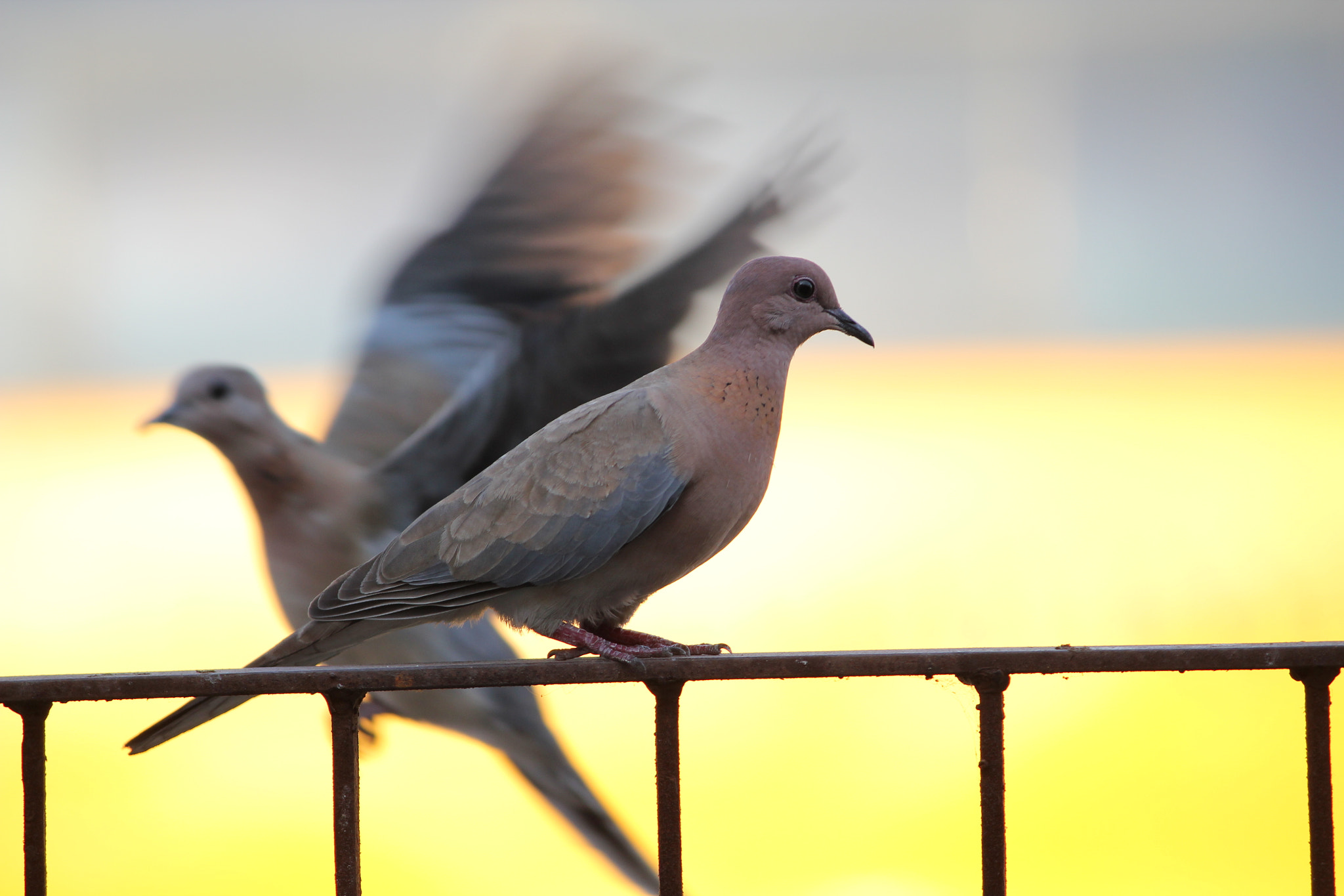 Photograph Flying vs standing - Dove by Mihir Dhandha on 500px