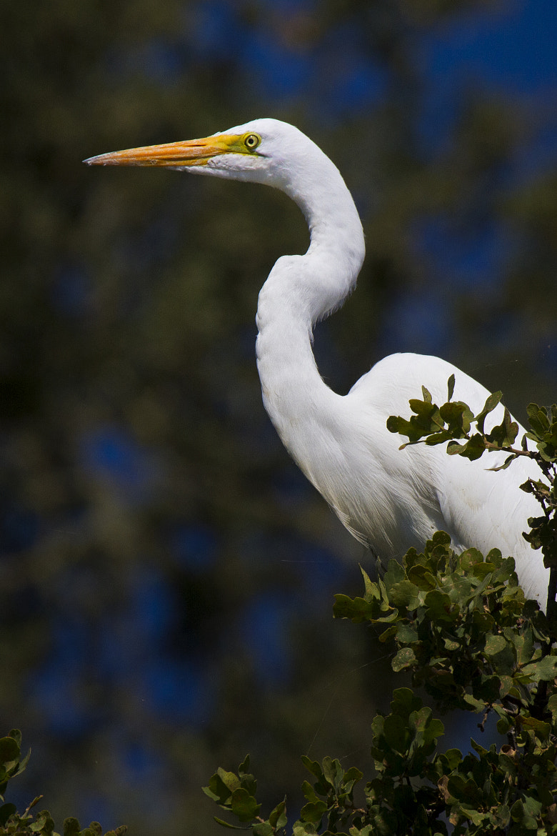 Photograph Majestical Egret by Todd Livermore on 500px