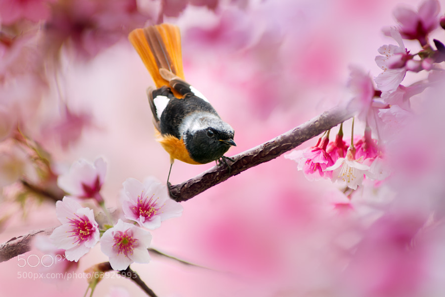 Photograph Daurian Redstart by FuYi Chen on 500px