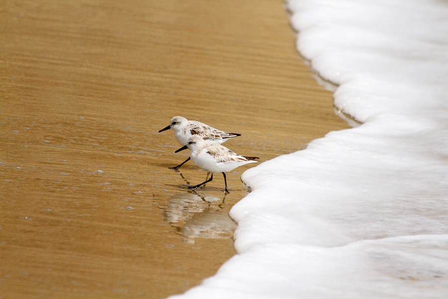 Photograph Shorebirds at Drake's Beach by Michael Young on 500px