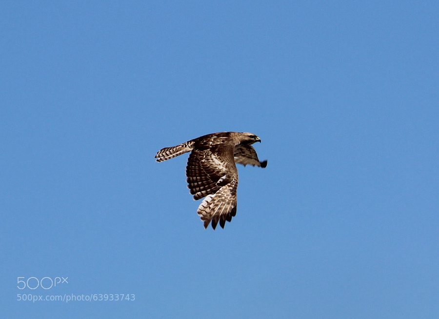 Photograph Red-tail Hawk by Jean Crawford Evans on 500px