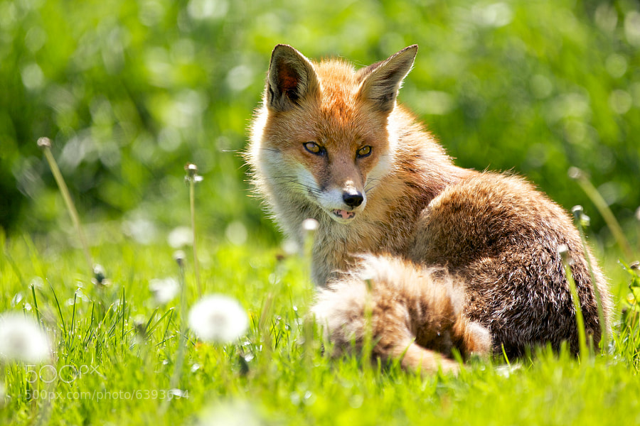 Photograph spring fox by Mark Bridger on 500px