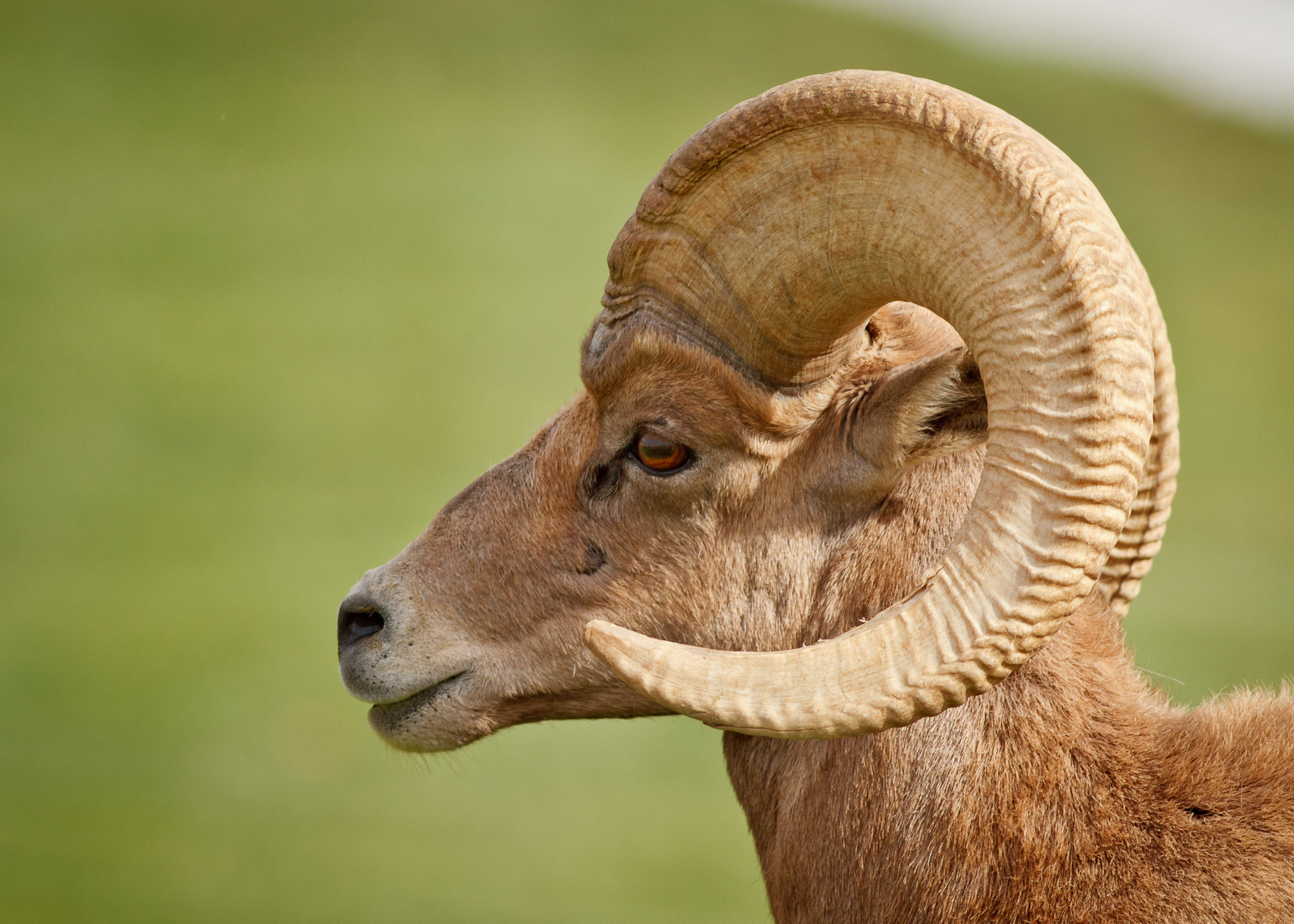 Photograph Male Desert Bighorn Sheep by Carl Jackson on 500px