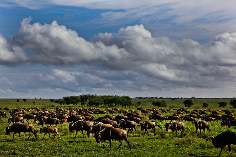 Migration of the wildebeest