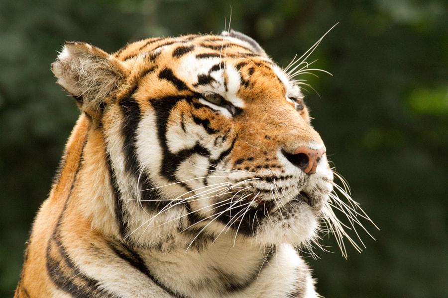 Photograph Tiger fits by Benjamin Nocke on 500px