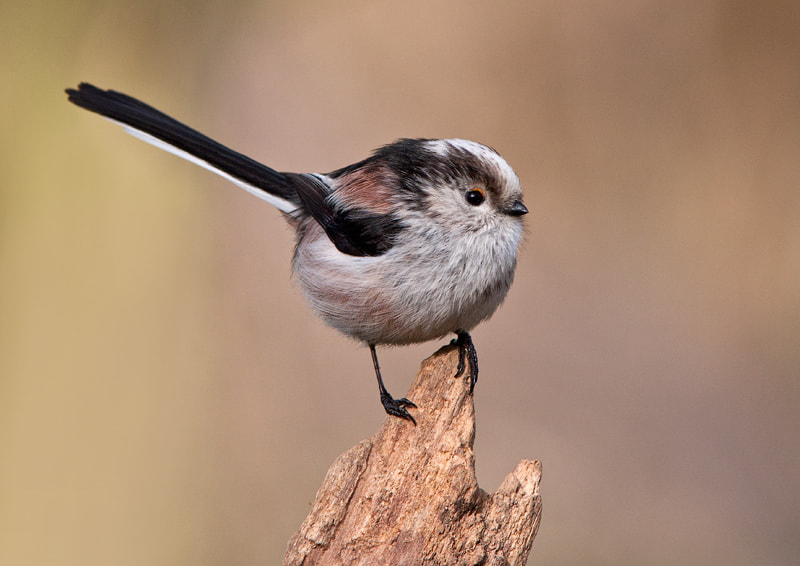 Photograph Long Tailed Tit by Lea Roberts on 500px