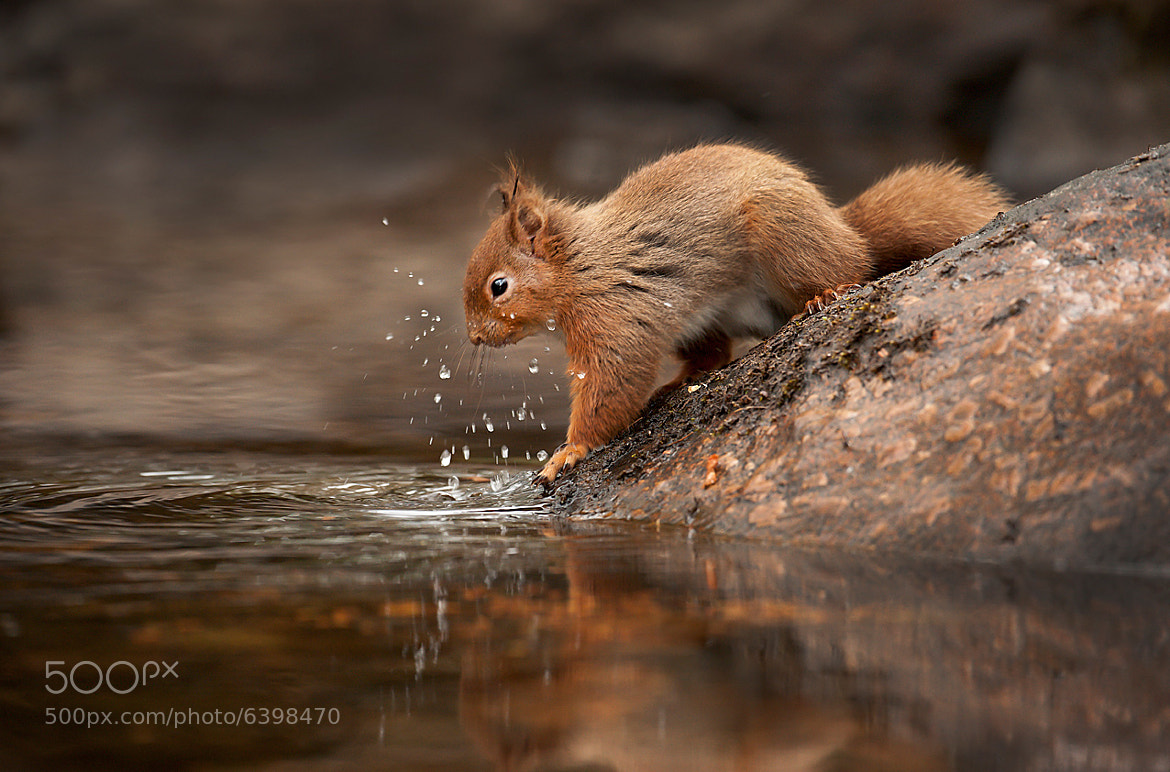 Photograph Splash squirrel  by Mark Davies on 500px