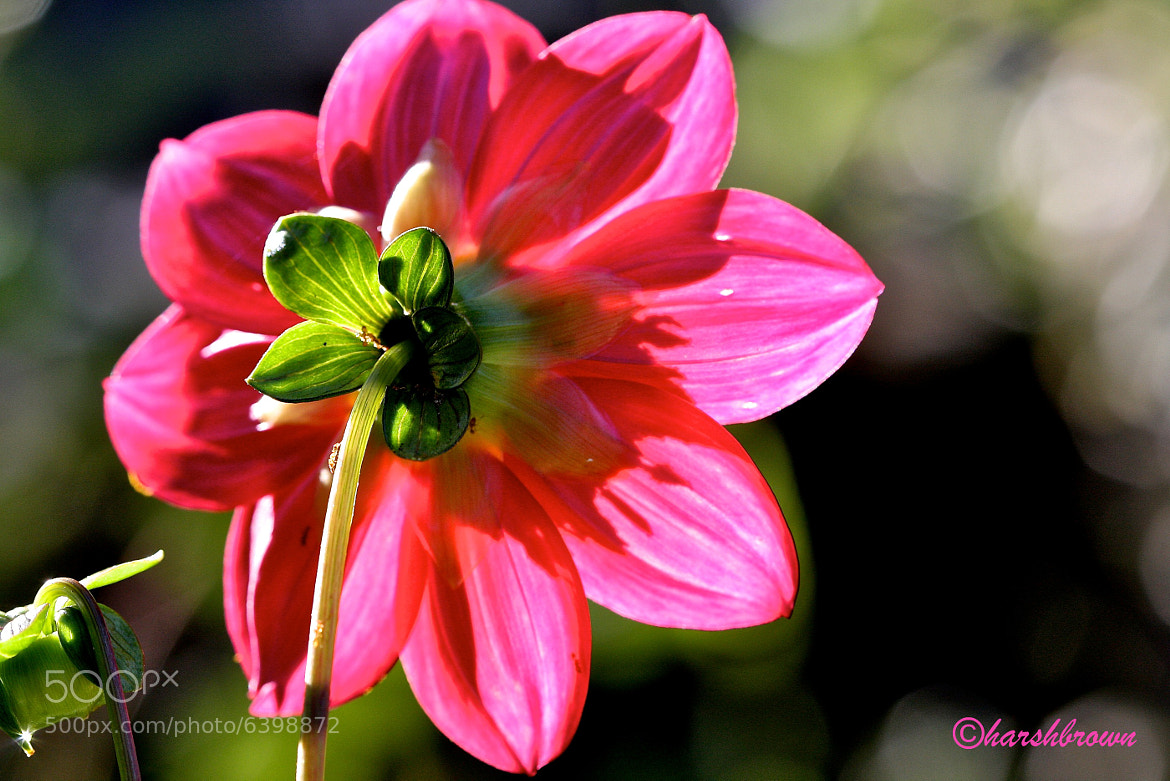 Photograph Back Side of a Dahlia by Harsh Brown on 500px