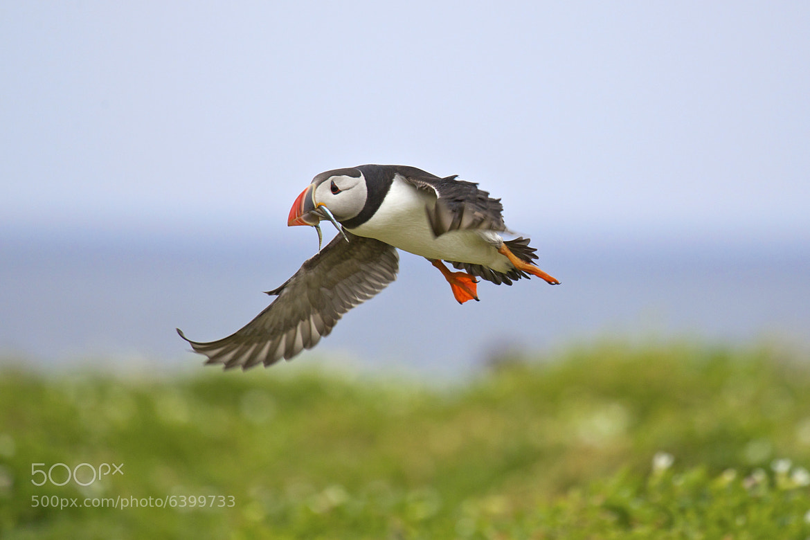 Photograph Puffin by Sylwia Domaradzka on 500px