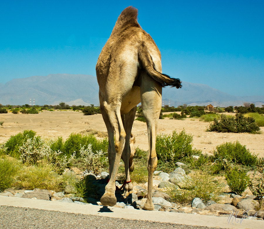 a camel's arse