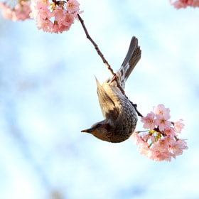 sakura and bird by woody L. chu (macao_woody) on 500px.com