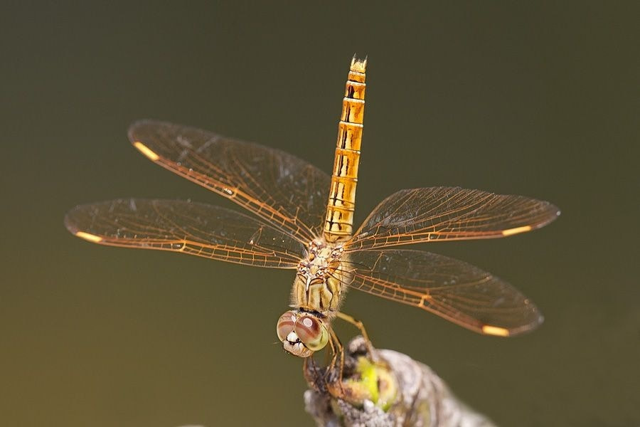 Photograph Dragonfly by Peter Edge on 500px