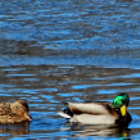 Mallards waiting for spring on the Wisconsin River