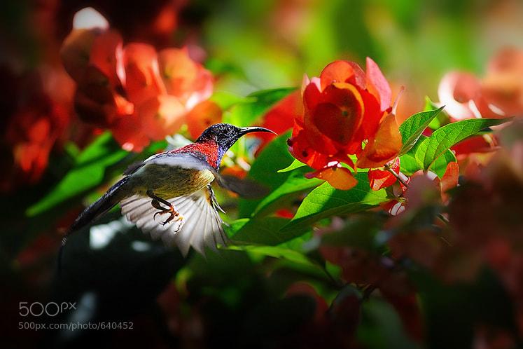 Photograph Black-throated Sunbird by Doy Pdamobiz on 500px