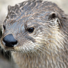 Постер, плакат: North Amerian River Otter
