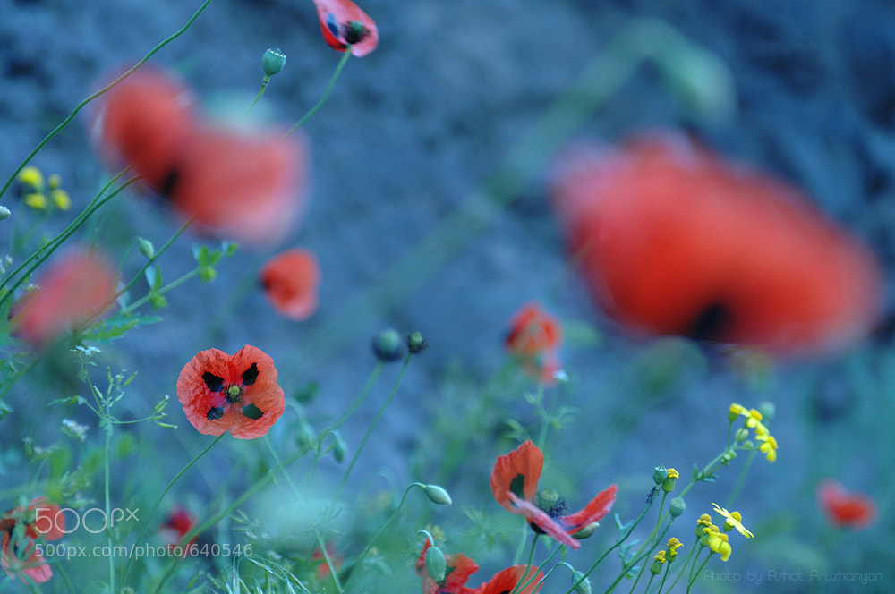Photograph Poppy by Ashot  Arushanyan on 500px