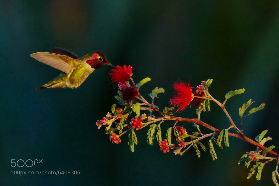 Photograph Hummingbird by Cal Holman on 500px