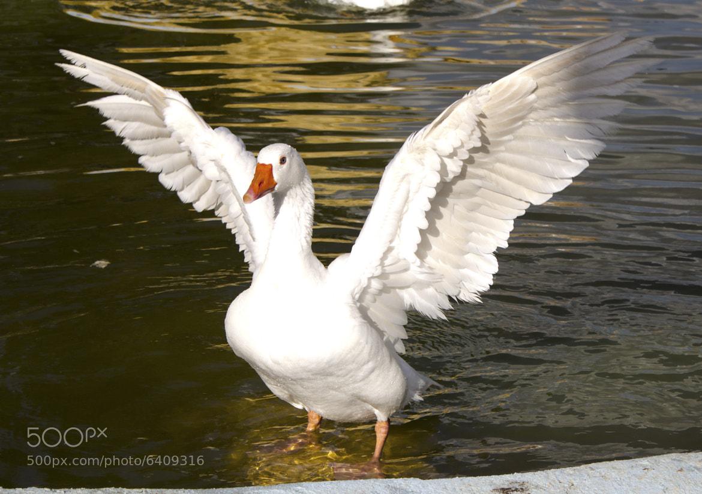 Photograph Goose by Alvaro Ramirez on 500px
