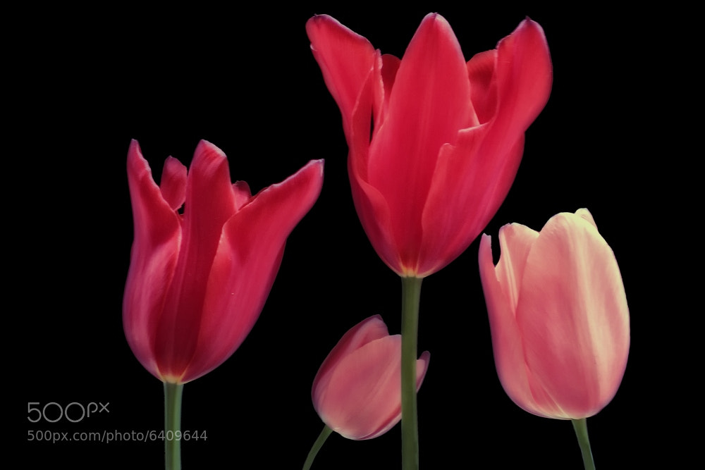 Photograph Tulipani by Alfredo Mancini on 500px