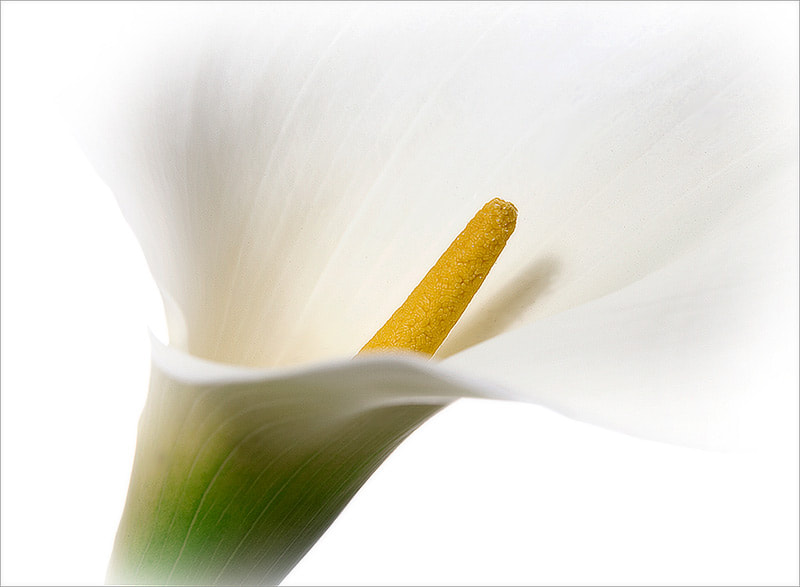 Photograph Kalla Lily by Irina Novosyolova on 500px